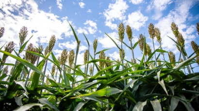 Making Biofuels Cheaper by Putting Plants to Work
