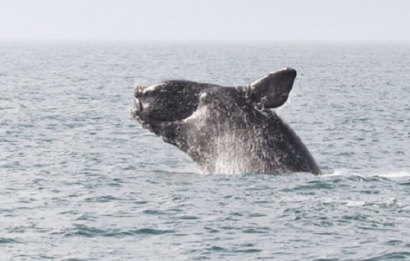 Vineyard Wind Launches Search for Acoustic Monitoring Systems to Help Safeguard North Atlantic Right Whales