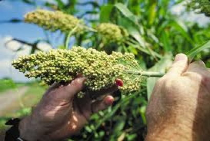$16 Million Grant Awarded to Develop Sorghum for Bioenergy