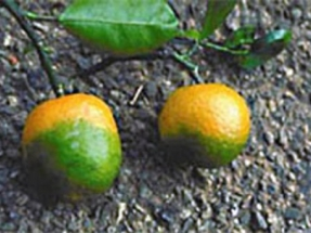 Attis Innovations Strikes Partnerships to Create Biomass Value from Rogued Citrus Trees