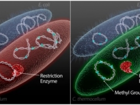 ORNL Develops Method to Customize Microbes for Better Biofuel Production