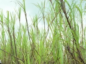 Airline Industry Could Fly Thousands of Miles on Biofuel Made from Sugarcane