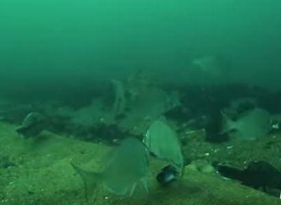 AWEA releases video of fish feeding at America's first offshore wind farm