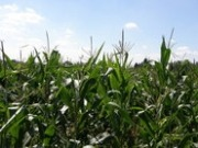 Soil Association warns against use of maize for biofuel production