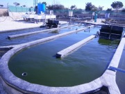 Pioneering European project produces first algae crops for bioenergy
