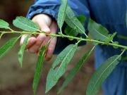 Willow genes could boost biofuel production