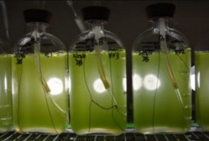 University researchers sequence fuel-producing green algae