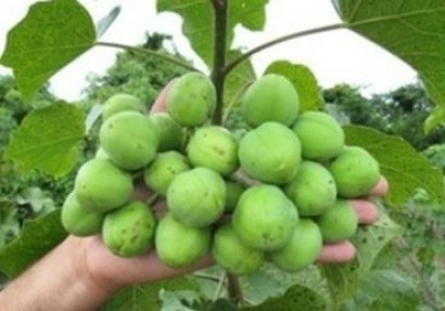 Scientists in Egypt develop aviation biofuel from jatropha plants