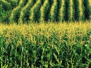 Published report: Biofuel from corn cobs, stalks, projected to cost $1.50