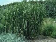 US asks farmers to grow hybrid grass for energy independence